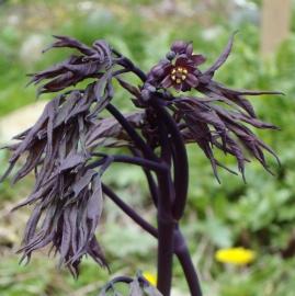 Blue Cohosh Flower Essence