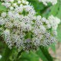 Boneset Flower Essence