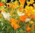 California Poppy Flower Essence