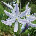 Camas Lily Flower Essence
