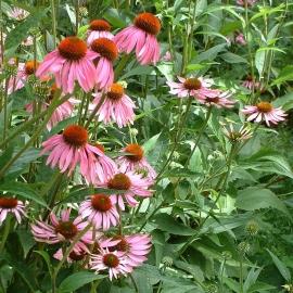Echinacea Flower Essence