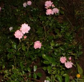 Fairy Rose Flower Essence