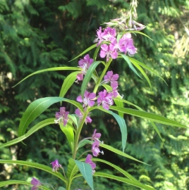 Fireweed Flower Essence