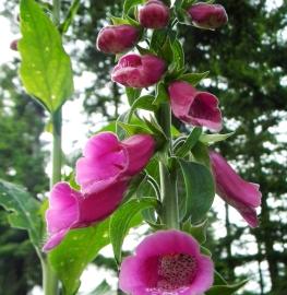 Foxglove Flower Essence