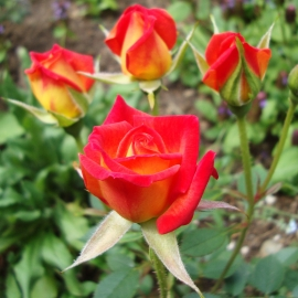 Hot Tamale Rose Flower Essence