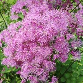 Meadow Rue Flower Essence