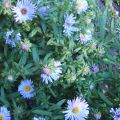 Michaelmas Daisy Flower Essence