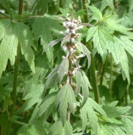 Motherwort Flower Essence