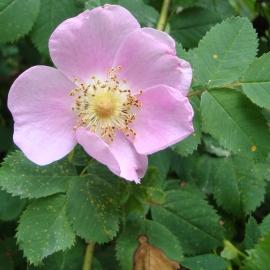 Nootka Wild Rose Flower Essence