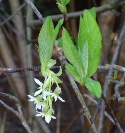 Osoberry Flower Essence