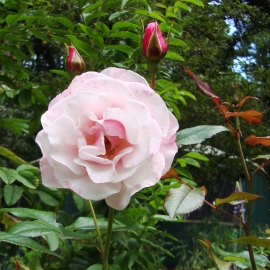 Our Lady of Guadalupe Rose Flower Essence