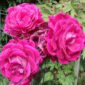 Purple Passion Rose Flower Essence