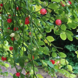 Red Huckleberry Flower Essence