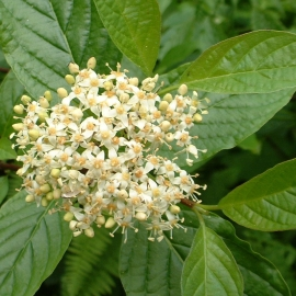 Red-Osier Dogwood Flower Essence