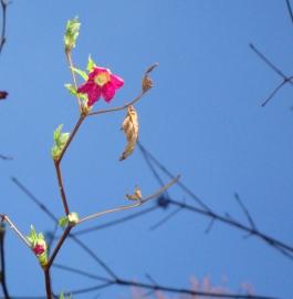 Salmonberry Flower Essence