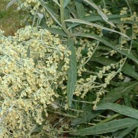 San Juan Mugwort Flower Essence