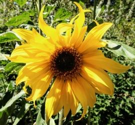 Sunflower Flower Essence