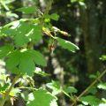 Wild Gooseberry Flower Essence